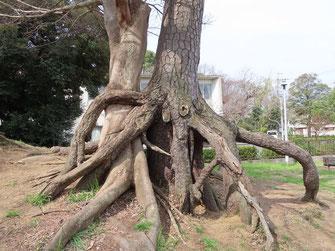根上がりの松