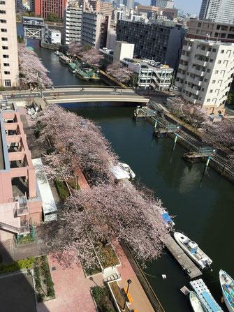 治療院から見える桜。