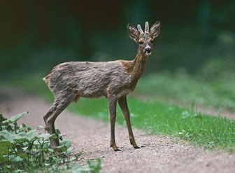 Verfärben eines jungen Bockes - Bild: jagderleben.de-E.Marek