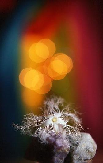 カラスウリの花 室内撮影