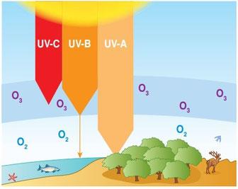 La couche d'ozone filtre le rayonnement ultraviolet B et C provenant du Soleil. Seuls les UVA peuvent traverser. Source: Bordas seconde  2010.