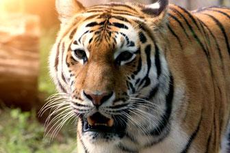 Tieraufnahmen Tiger