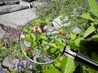 Strawberries on the alm