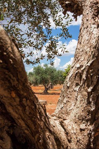 Prospettive particolari in una torrida estate salentina, in campagna, ricca di colori e di ulivi.