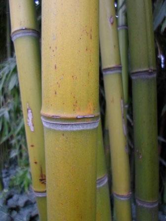 «Bamboo bambou bambuseae phyllostachys VAN DEN HENDE ALAIN CC-BY-SA-4 0 210520142038 01» par Alain Van den Hende — Travail personnel. Sous licence CC BY-SA 4.0