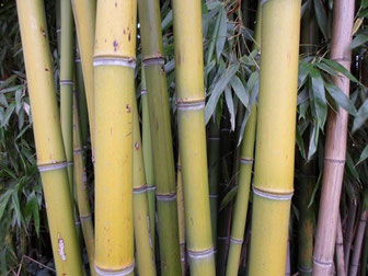 bambou bamboo environnement jardinage chame