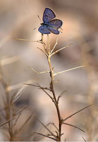 T. rosacea, mâle, Tarakatine, 2014, ©Rémy Amann