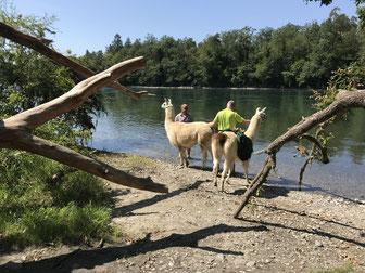 Lama-Trekking-Halt am Rhein