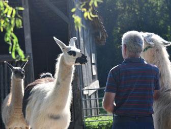 Lamas Sayenne und Samba auf dem Radhof 1