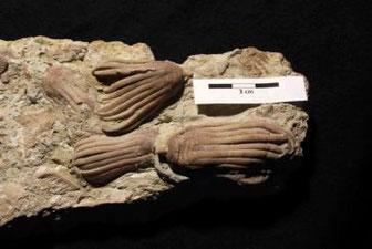 Fossile Seelilien für das Museum