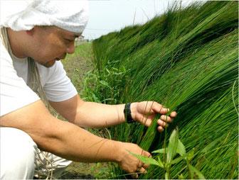熊本のい草の生育状況の確認している様子