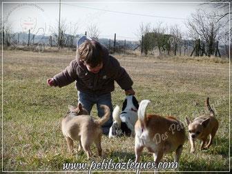 élevage de chihuahua