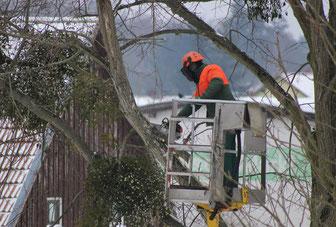 Baumpflege schneiden Baum