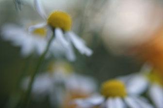 Valerie Forster, Bilder, Fotografie, Kamille