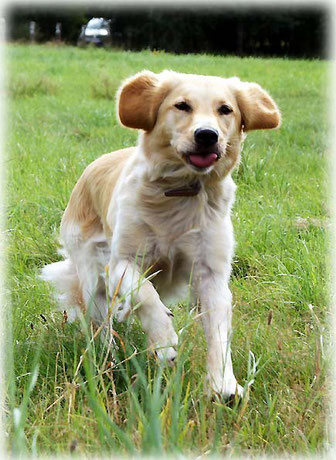 Golden Retriever Temba