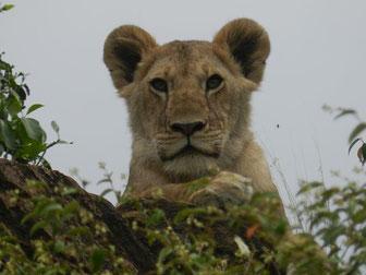 Löwen im Tsavo Ost auf Kenia Safari