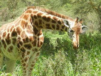 Tierarten im Lake Nakuru