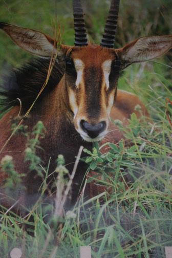Rappenantilope Shimba Hills