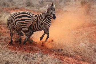 Tiere in Tsavo East National Park Kenya