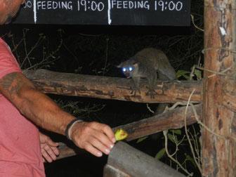 Buschbabys füttern in DIani Beach Kenia