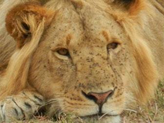 Löwen in der Massai Mara Kenia