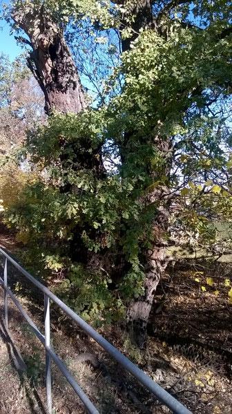 Zwiesel-Eiche beim Luisium bei Waldersee