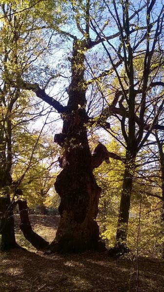 Abgestorbene Eiche beim Luisium bei Waldersee