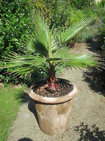 Washingtonia robusta (Petticoat-Palme)