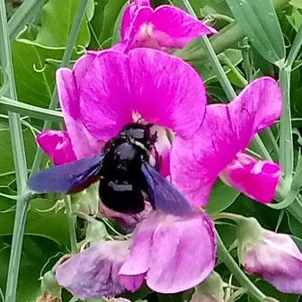 Video einer schwarzblauen Holzbiene beim Blütenbesuch. Diese Wildbiene ist so groß wie eine Hummelkönigin. Sie besiedelt Totholz, in dass sie selbst die Nestgänge nagt. Vockenhausen (Video & Foto T. Wolf)
