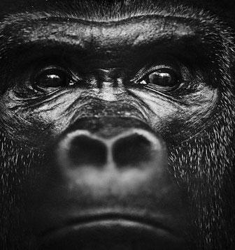 Gorille noir et blanc laurent baheux