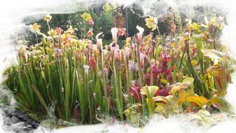 Sarracenia Moorbeet Fleischfressende Pflanzen Garten
