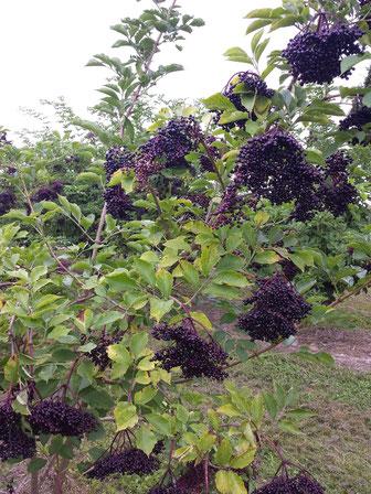 Reife Holunderbeeren - sehr reichhaltig an Flavonoiden und Vitamin C