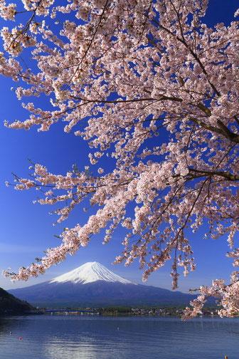 富士山と桜。5shajin_kさんの作品です