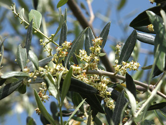 23 Olive