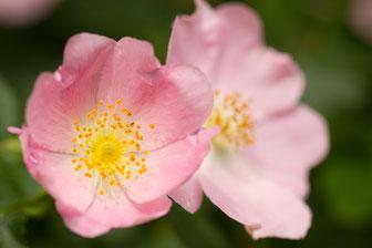 37 Wild Rose
