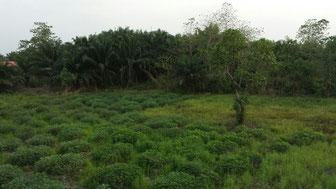 Habitat am Fundort Sierra Leone (GPS: 8.847123, -12.056149)