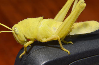 Acanthacris ruficornis - subadult