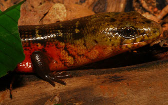 Diploglossus monotropis Weibchen