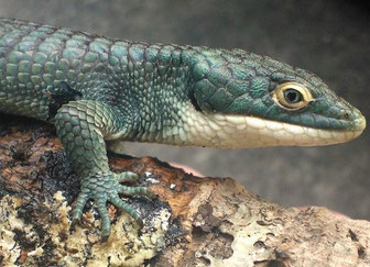 "Abronia graminea ""blue eyes"""