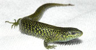 Mesaspis monticola Männchen