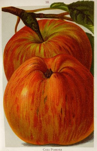 """Quelle: """"Sachsens Apfel- und Birnensorten"""", Foto: T. Karipidis"""