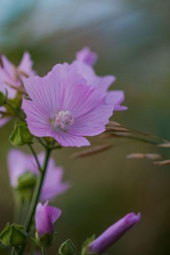 Wilde rosafarbene Malve im Feld hochkant - Makrofotografie
