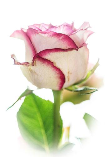 rose-weiss-lila-einzeln-hochkant-makro