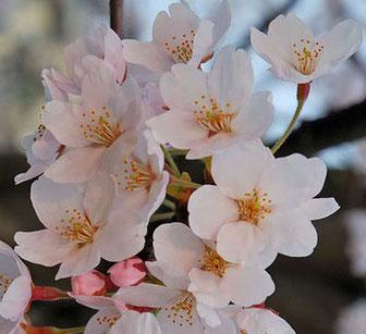 日中友好の記し 旅順の桜の樹