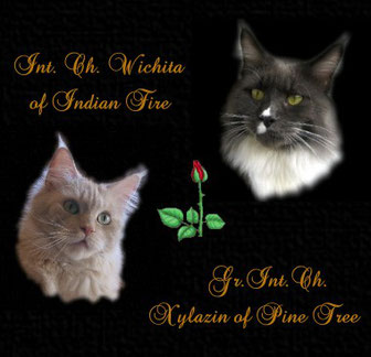 Int.Ch. Wichita of Indian Fire & Xylazin of Pine Tree Verpaarung Maine Coon Kitten - Katzenbabys A-Wurf