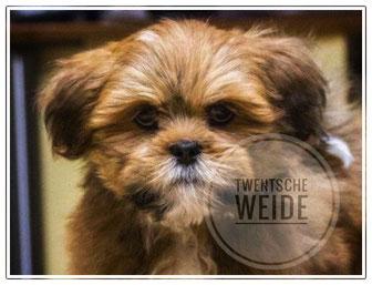 Boomer pups bijzondere kleur goed verzorgd - Honden