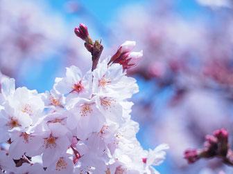 桜の木の下のBBQエリア