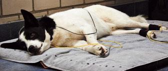 Sammy genießt die Behandlung mit dem Interferenzstrom
