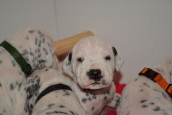 pups 2 weken oud