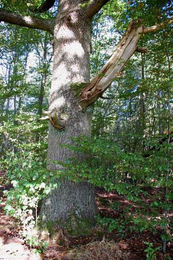 Bild: S. Ecker, alter  Baum mit Totholz